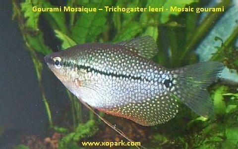 xopark5Gourami-Mosaique—Trichogaster-leeri—Mosaic-gourami
