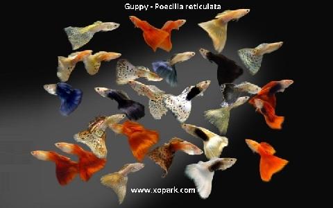 xopark5Guppy—Poecilia-reticulata—Million-fish
