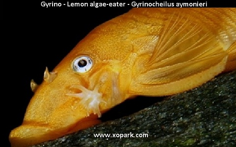 xopark5Gyrino—Lemon-algae-eater—Gyrinocheilus-aymonieri