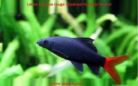 xopark5Labeo-à-queue-rouge—Epalzeorhynchos-bicolor—Bicolor-labeo