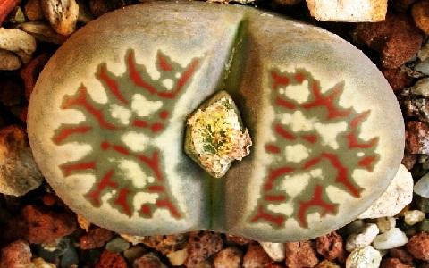 xopark5Lithops-dorotheae