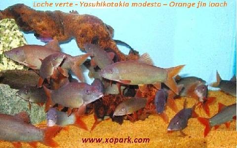 xopark5Loche verte—Yasuhikotakia-modesta—Orange-fin-loach