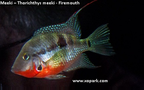 xopark5Meeki—Thorichthys-meeki—Firemouth