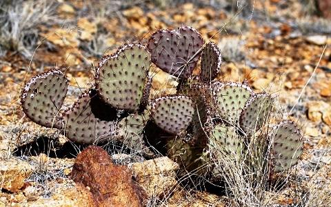 xopark5Opuntia-macrocentra—Opuntia-macrocentra-Engelm