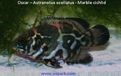 xopark5Oscar—Astronotus-ocellatus—Marble-cichlid