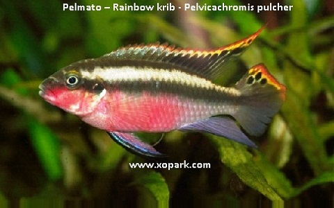 xopark5Pelmato—Rainbow-krib—Pelvicachromis-pulcher