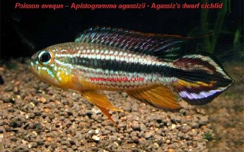 xopark5Poisson-eveque—Apistogramma-agassizii—Agassizs-dwarf-cichlid