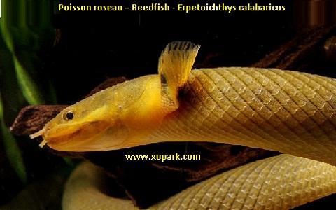 xopark5Poisson-roseau—Reedfish—Erpetoichthys-calabaricus