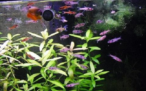 xopark5Rasbora-nain—Boraras maculatus—Dwarf-rasbora