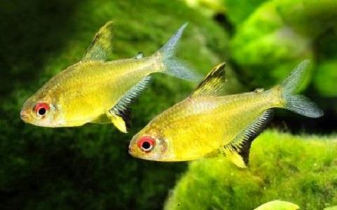 xopark5Tétra-citron—Lemon Tetra—Hyphessobrycon-pulchripinnis
