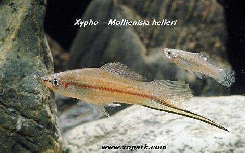 xopark5Xipho—Xiphophorus-hellerii—Green-swordtail