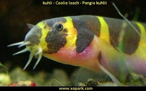xopark5kuhli—Coolie-loach—Pangio-kuhlii