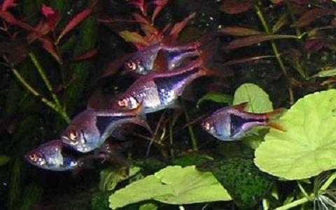xopark6Arlequin—Phenacogrammus-interruptust—Thayeria-boehlkei