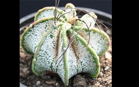 xopark6Astrophytum-capricorne—Goat_s-horn-cactus