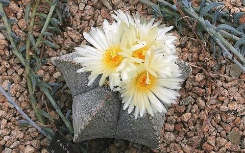 xopark6Bonnet-d_Evêque—Astrophytum-myriostigma—Bishop_s-Cap-Cactus