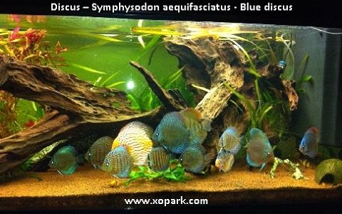 xopark6Discus—Symphysodon-aequifasciatus—Blue-discus