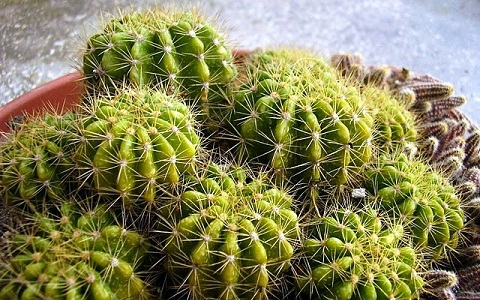 xopark6Echinopsis-calochlora