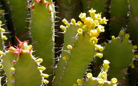 xopark6Euphorbes-du-Maroc—Euphorbia-resinifera—Resin-spurge