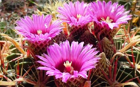 xopark6Ferocactus_latispinus