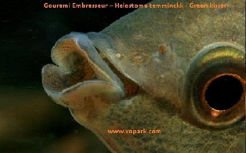 xopark6Gourami-Embrasseur—Helostoma-temminckii—Green-kisser