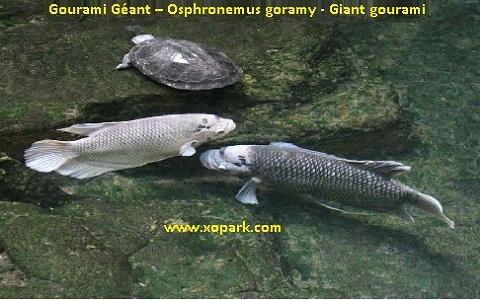 xopark6Gourami-Géant—Osphronemus-goramy—Giant-gourami