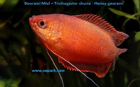 xopark6Gourami-Miel—Trichogaster-chuna—Honey-gourami