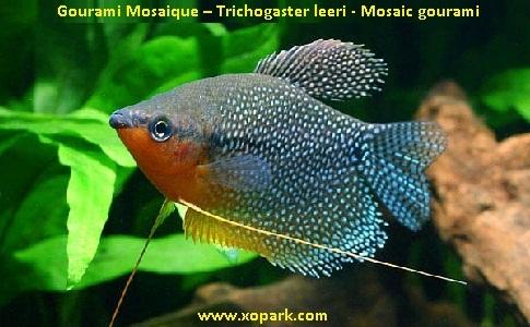 xopark6Gourami-Mosaique—Trichogaster-leeri—Mosaic-gourami