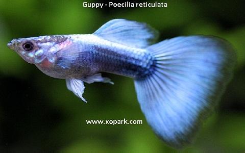 xopark6Guppy—Poecilia-reticulata—Million-fish