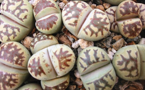 xopark6Lithops-dorotheae