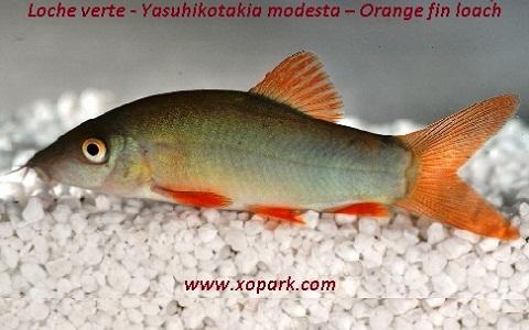 xopark6Loche verte—Yasuhikotakia-modesta—Orange-fin-loach