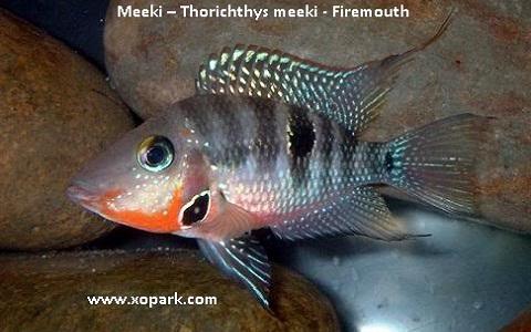 xopark6Meeki—Thorichthys-meeki—Firemouth