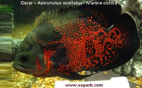 xopark6Oscar—Astronotus-ocellatus—Marble-cichlid
