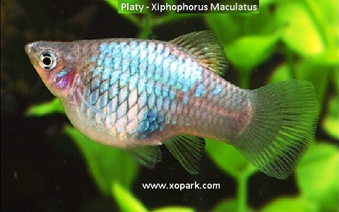 xopark6Platy—Xiphophorus-Maculatus—Wagtail-Platy