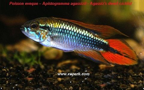 xopark6Poisson-eveque—Apistogramma-agassizii—Agassizs-dwarf-cichlid