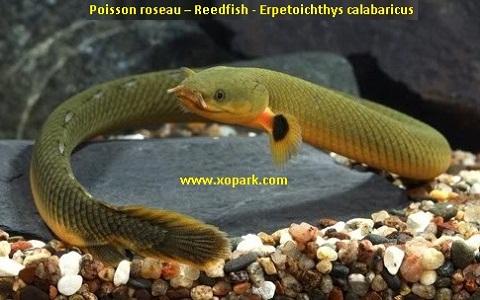xopark6Poisson-roseau—Reedfish—Erpetoichthys-calabaricus
