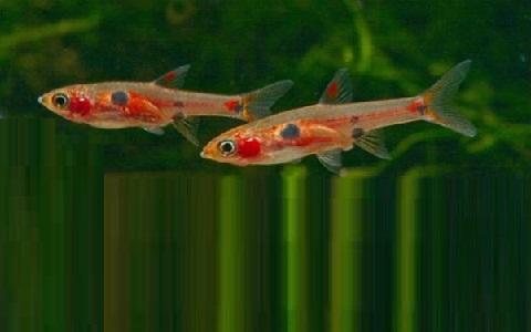 xopark6Rasbora-nain—Boraras maculatus—Dwarf-rasbora