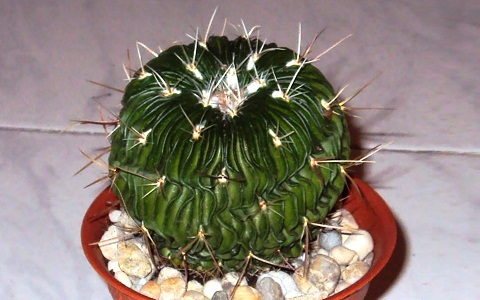 xopark6Stenocactus-hastatus