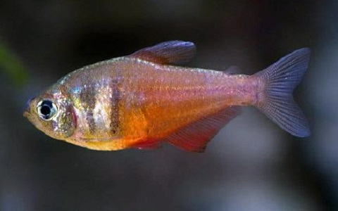 T tra de rio hyphessobrycon flammeus t tra for Poisson tetra rouge