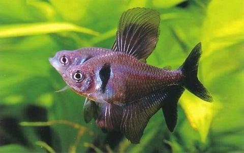 xopark6Tetra-fantome—Hyphessobrycon-megalopterus—Black-phantom-tetra
