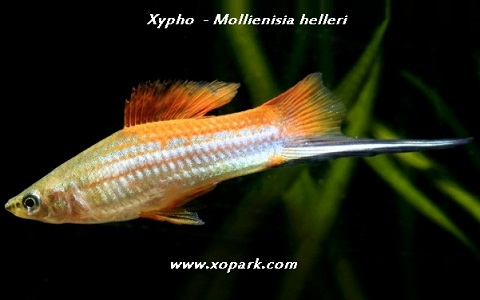 xopark6Xipho—Xiphophorus-hellerii—Green-swordtail
