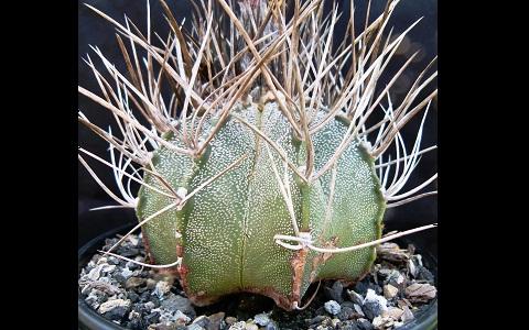 xopark7Astrophytum-capricorne—Goat_s-horn-cactus