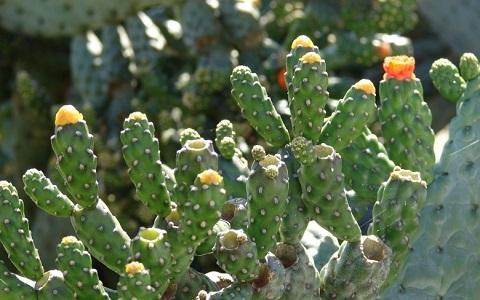 xopark7Consolea-moniliformis—Cactus-ferox—Nopalea-moniliformis