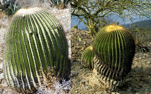 xopark7Echinocactus-platyacanthus—Biznaga-de-dulce—Giant-barrel-cactus