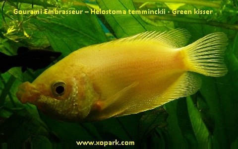 xopark7Gourami-Embrasseur—Helostoma-temminckii—Green-kisser