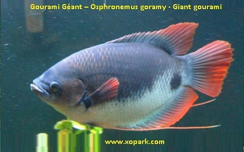 xopark7Gourami-Géant—Osphronemus-goramy—Giant-gourami