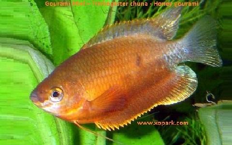 xopark7Gourami-Miel—Trichogaster-chuna—Honey-gourami