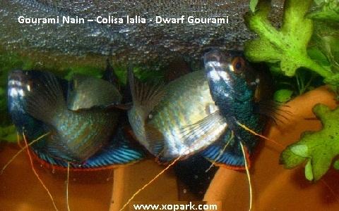 xopark7Gourami-Nain—Colisa-lalia—Dwarf-Gourami