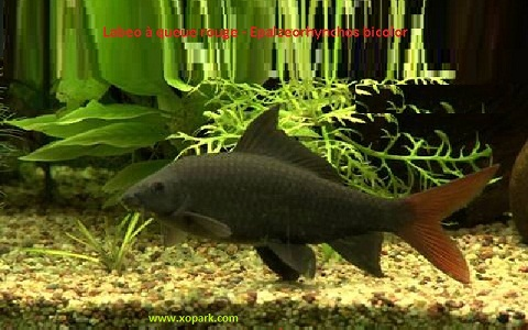 xopark7Labeo-à-queue-rouge—Epalzeorhynchos-bicolor—Bicolor-labeo