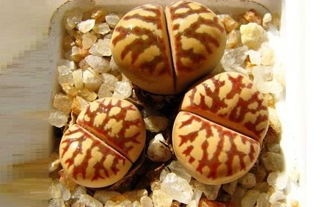 xopark7Lithops-dorotheae