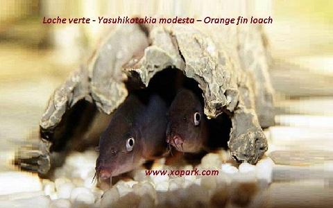 xopark7Loche verte—Yasuhikotakia-modesta—Orange-fin-loach